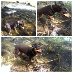 The Adventure Min-Pin tests the creek waters.