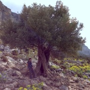 """The """"lone olive tree."""""""